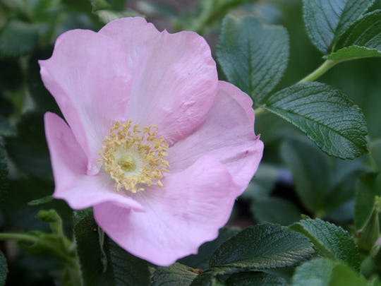 A rugosa rose, used for rose hips, blooms at Pitspone Farm, a small suburban farm in Kendall Park.