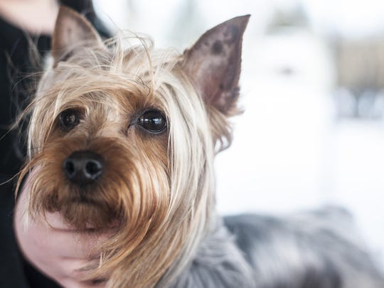 Primo the award winning Silky Terrier was photographed in Fairfield Friday, Dec. 18, 2015.
