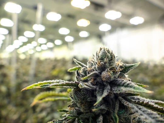 An up-close view of a flowering cannabis plant in a commercial indoor grow farm.