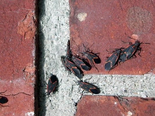 1128 Boxelder Bugs