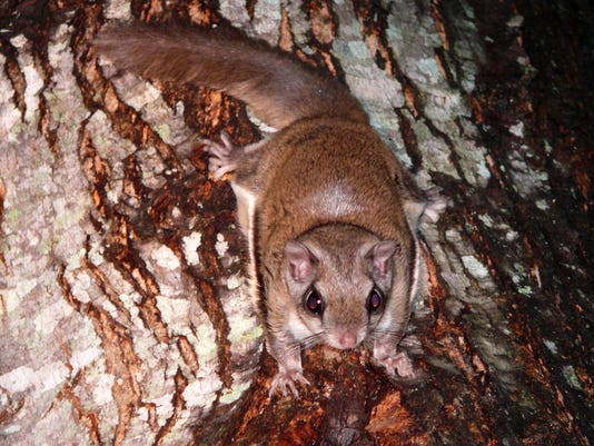Southern Flying Squirrel.jpg