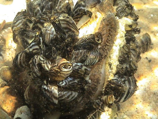 The zebra mussel is a small, non-native mussel originally