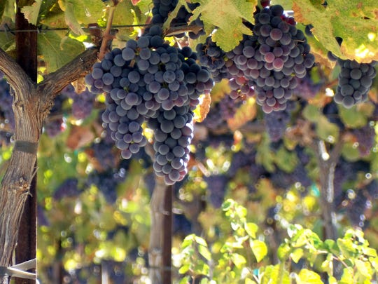 Brilliant, ripe counoise grapes ready for harvest in Paso Robles