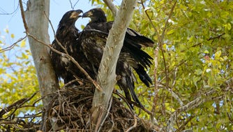 Bald eagles can live to be more than 20 years old in the wild. Arizona's oldest bald eagle was 28.