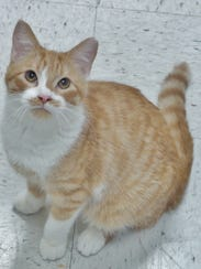Wilson is a 1-year-old orange-and-white boy who is