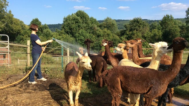 This is a photo from my recent trip to Hum Dingers Alpaca Farm outside Philipsburg, NJ