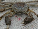 Smithsonian wants you to look out for this invasive crab species