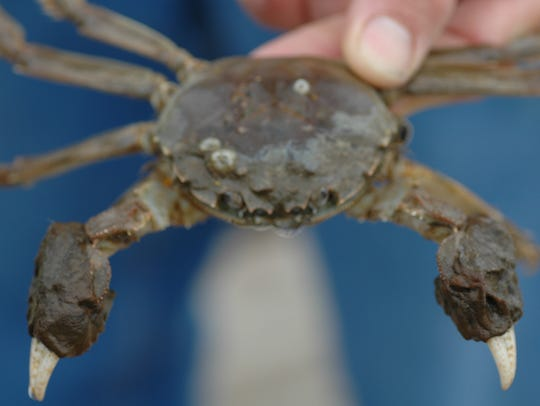 The Chinese mitten crab has a light brown, square-shaped