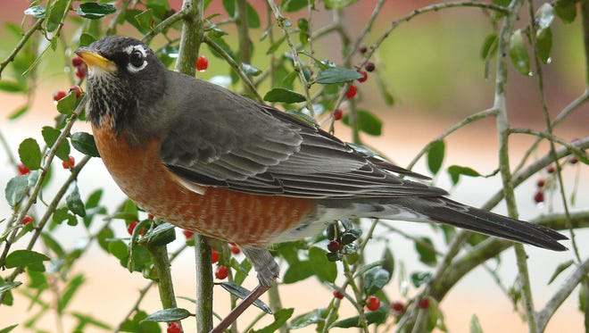 In February large flocks of American robins finish off any berries that are still available. Flocks now visiting yards and bird baths will disappear as migrant birds start moving north about late February.