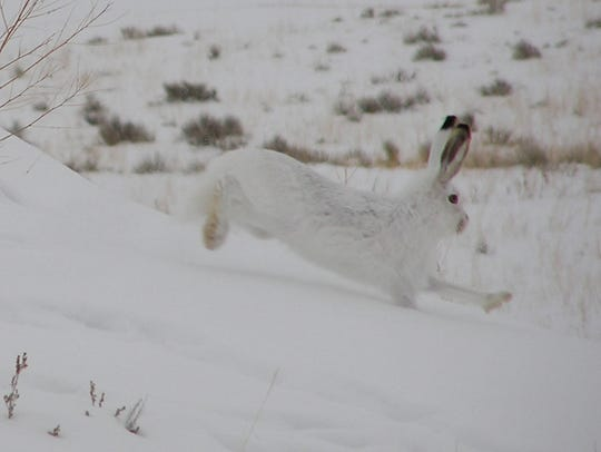A white-tailed jackrabbit in winter.