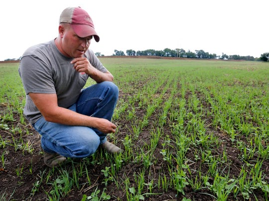 Justin Dammann inspects the cover crop planted around