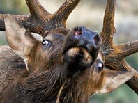 Moraine Park, Horseshoe Park and Upper Beaver Meadows are the best areas to see elk in Rocky Mountain National Park.