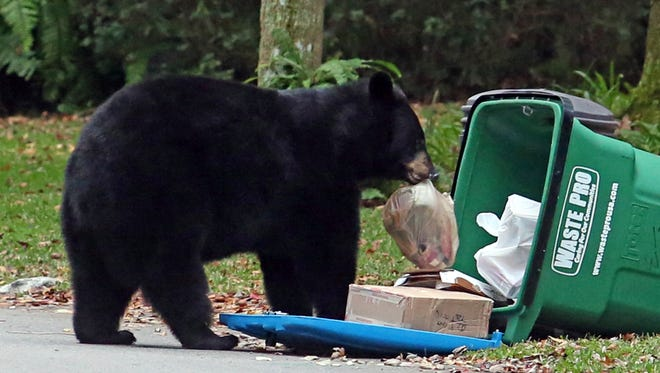 """In this Dec. 20, 2016 photo, a Florida black bear raids an overturned garbage can in a Seminole County neighborhood, in Longwood, Fla. Florida wildlife officials are on pace this year to put down fewer than 20 black bears that pose a risk to public safety - the smallest number in five years - a sign that bear-resistant garbage cans and """"bear-wise"""" rules may be reducing conflicts between people and the state's largest native land mammal."""