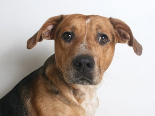 Justice is a 1-year-old, black and tan merle, male