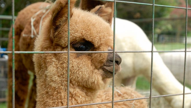 Estero, a baby Alpaca, peers out from behind a fence at the  By the Bay Alpaca booth at  at the Ker Art Festival on Saturday, September 10.