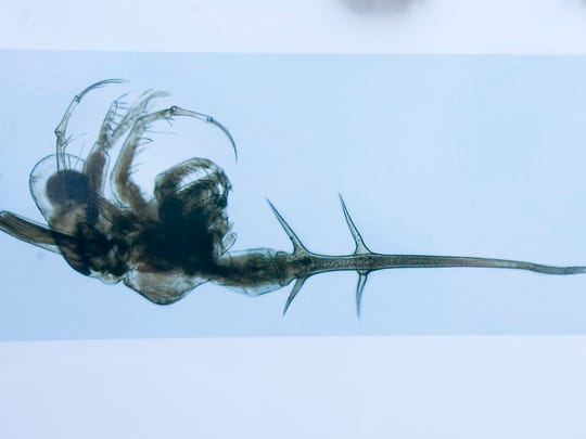 Up-close and bristling: The spiny waterflea is a potential troublemaker in Lake Champlain, where it has recently taken up residence. (actual size: approx. 1/2 inch)