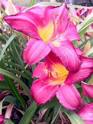 Daylilies will grow for many years without much attention, but the plants will produce more flowers if they are divided about every five years.