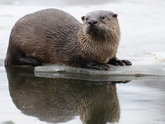 This river otter goes fishing on the ice of early spring