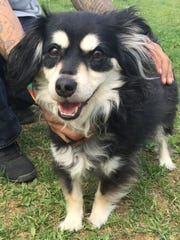 Opie is a 6-year-old terrier/papillon mix who is a