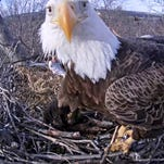 An eagle checks out the camera during the 2014 nesting season.