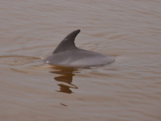 A dolphin swims in the brown water of Sykes Creek.