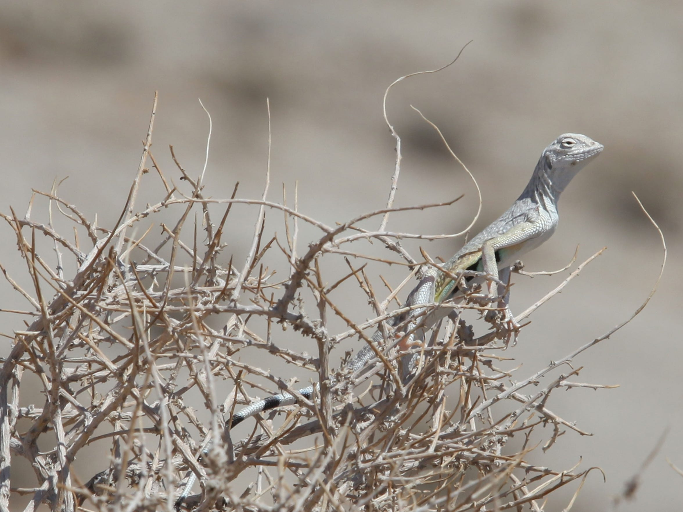 A zebra-tailed lizard sits atop a bush to escape the