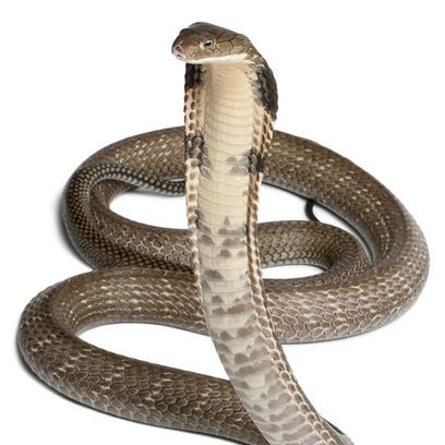 The escaped king cobra looks very similar to this stock