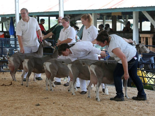 A group of goats are judged at the 172nd Dutchess County