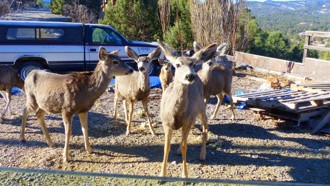 A herd of curious mule deer does greet a Ruidoso residents one chilly winter morning.