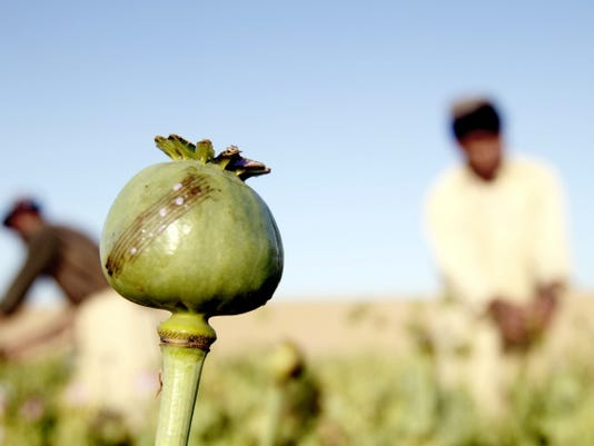 Afghan farmers harvest raw opium at a poppy field on April 11, in Kandaharís Zhari district, Afghanistan.