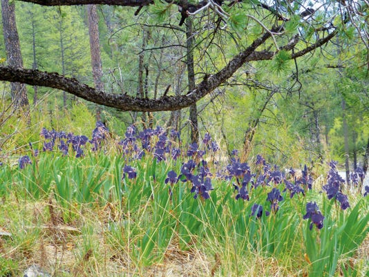 With an arching tree limb as a frame, a family of iris plants decorates a hillside on Country Club Drive.