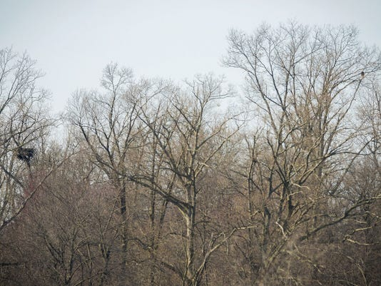 In the top right corner of the frame, one of the two adult eagles nesting with two young eaglets sits perched on a tree near its nest, at far left, high above the banks of Lake Marburg in Codorus State Park on April 12.