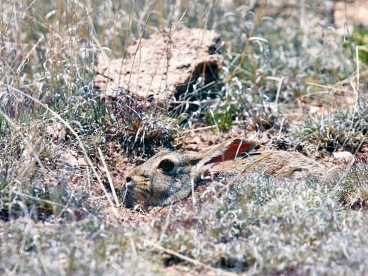 This young cottontail rabbit is nearly invisible as he uses his camouflage coat to hide in the tall dry grass near Spencer Theater for Performing Arts.