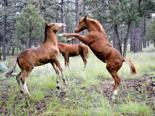Two members of the Alto wild horse herd settle a disagreement.