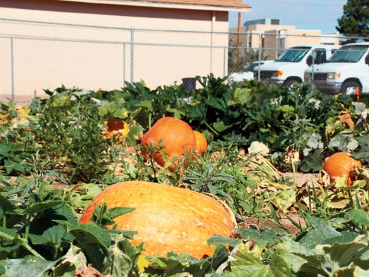 Bill Armendariz — Headlight Photo   The Deming MainStreet Farmers Market would be a great sales outlet for your products. MainStreet is planning to keep the market open through the autumn season and it would be an asset to you to sell your autumn veggies. Pumpkins, especially, are most welcome. We have a huge paved lot with easy pull thru access for your vehicle.  No unloading or loading. Just pull in and sell your pumpkins and squash. There is no charge for vendors or customers, so come on down. The market is open from 8 a.m. to noon on Saturday's at the corner parking lot behind Mimbres Internal Medicine at Spruce and Copper streets. Email at: betteanne@q.com for a short application.