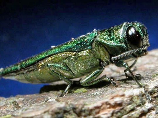 As of August 2016, emerald ash borer has been found in New Jersey in Bergen, Burlington, Essex, Hunterdon, Mercer, Middlesex, Monmouth and Somerset counties.