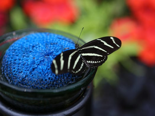 A butterfly drinks nectar at Krohn Conservatory on Friday. This year's butterfly show features the exotic butterflies of Costa Rica. The shows runs April 12 through June 22, and features 16,000 butterflies.