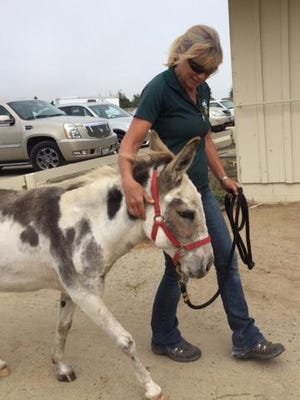 A miniature donkey is show a safe home by an SPCA staff member.