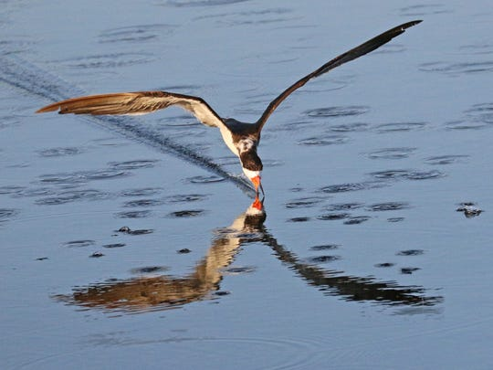 A black skimmer glides gracefully across the water's surface seeking a small fish to snap up.