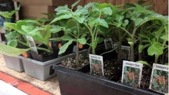 Keohane Funeral Home will kick off another season of its Plant.Grow.Share. program by offering free tomato plants to those in the community. Free tomato plants will be available for pick up from 10 to 11 a.m. June 13 at the Weymouth Food Pantry.