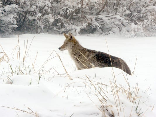 coyote near reno