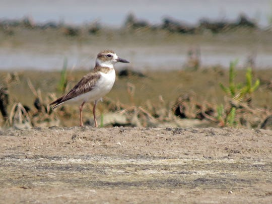 Wilson's plover is one of the species that nest at