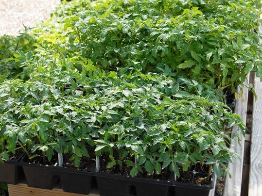 flats of tomatoesjpg