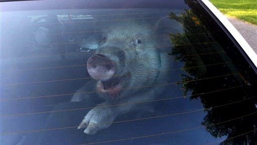 This May 28 photo provided by the Shelby Township Police Department shows a stray pig in then back of police vehicle in suburban Detroit.