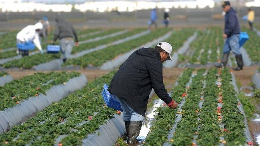 Strawberries are the No. 1 crop in Ventura County, according to a 2015 report.