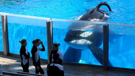 FILE- In this March 7, 2011 file photo orca whale Tilikum, right, watches as SeaWorld Orlando trainers take a break during a training session at the theme park's Shamu Stadium in Orlando, Fla. Tilikum, an orca that killed a trainer at SeaWorld Orlando in 2010, has died. According to SeaWorld, the whale died Friday, Dec. 30. 2016.