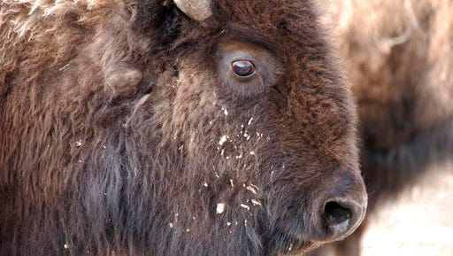FILE - This March 9, 2016 file photo shows a bison from Yellowstone National Park being held for shipment to slaughter near Gardiner, Mont. Yellowstone National Park has started shipping hundreds of wild bison to slaughter for disease control as a quarantine facility that could help spare many of the animals sits empty because of a political dispute. Park officials said 15 bison originally slated for the quarantine on the Fort Peck Reservation were instead loaded onto trailers Wednesday, Feb. 8, 2017 and sent to slaughter. Hundreds more will be shipped in coming days. Transferring bison to the quarantine is opposed by Montana officials.