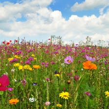 Learn how and when to plant wildflowers