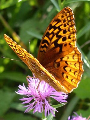 Butterflies will be one of the topics during a hike at the IBM Glen on Saturday.