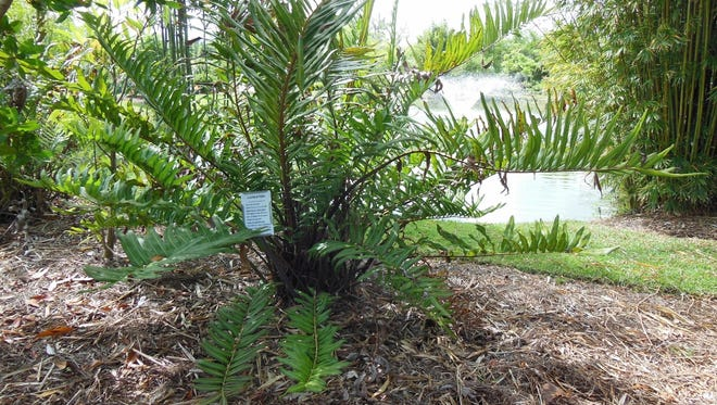 The giant leather fern is an excellent choice for a rain garden.